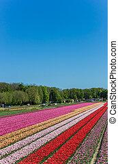 Colorful tulips along a canal in Noordoostpolder