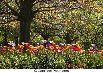Colorful tulips and old red leaf beechtree