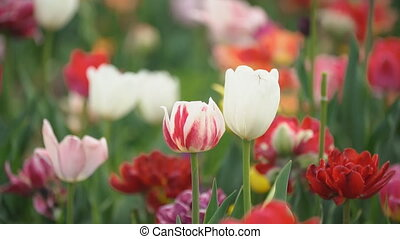 colorful tulips at close range - multi-colored tulips at...