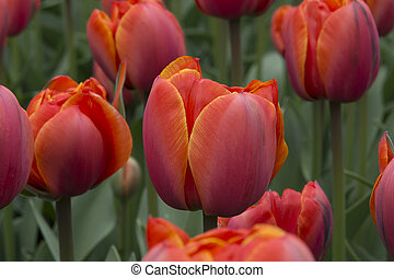 tulips at keukenhof in Holland