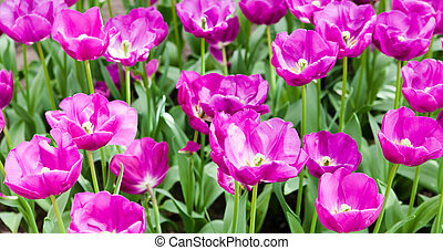 colorful tulips. Beautiful spring flowers. background of flowers.