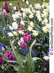 colorful tulips, daffodils and hyacinths blooming in a garden