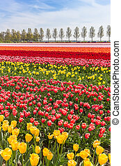 Colorful tulips field in Noordoostpolder
