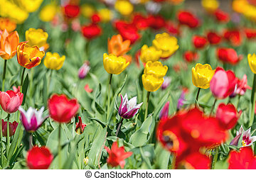 Colorful Tulips Flowers Blooming in a Park close up. -...