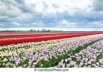 colorful tulips flowers on Dutch fields