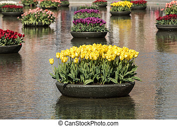 Colorful tulips flowres in the pond in front of the Rijksmuseum in Amsterdam. Netherlands