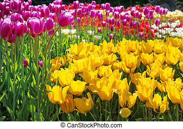 Colorful tulips in a flowerbed