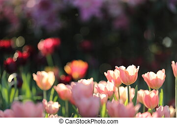colorful tulips in close up