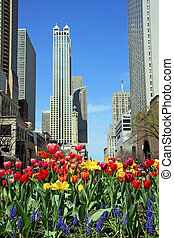 Colorful tulips in downtown Chicago in the spring.