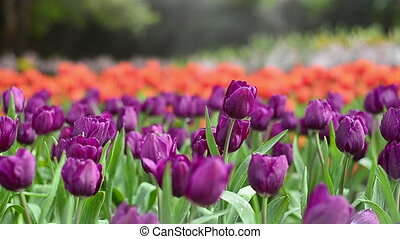 Colorful tulips in garden with blur background