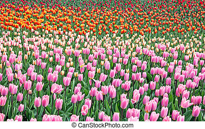 Colorful tulips in the garden. Kekenhof - Netherlands