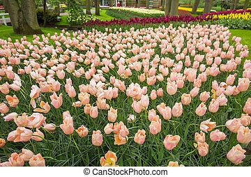 Colorful tulips in the Keukenhof garden