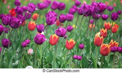 colorful tulips in the park - Multiple Colored Tulips in a...