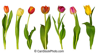 Colorful tulips isolated on white background