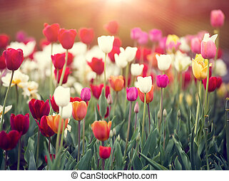 colorful tulips on a sunset in spring