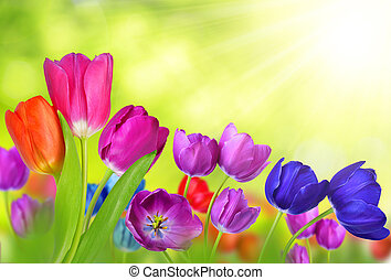 Colorful tulips on natural green background