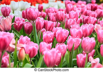 Colorful tulips pink color in garden, tulips background