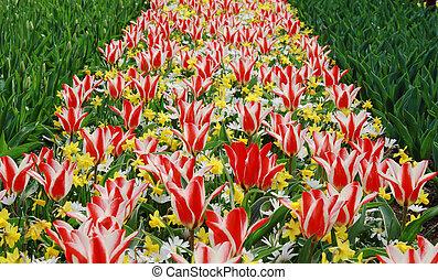 "colorful tulips ""Pinocchio"""