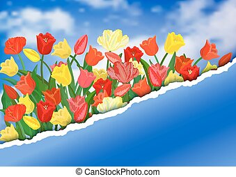 Colorful tulips with torn paper border