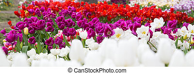 colorful tulips with water drops
