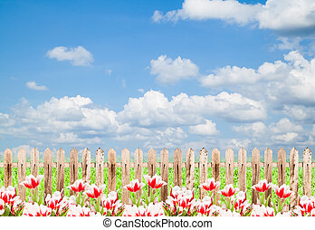 Colorful tulips with wood fence against blue sky background