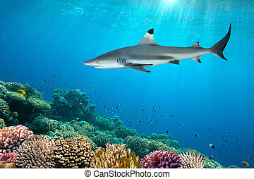 colorful underwater coral reef and shark