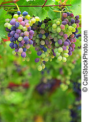 Colorful Unripe grapes and vine leaves - Unripe grapes and...