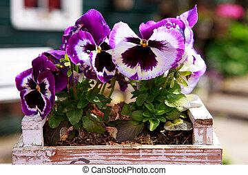 colorful viola flowers in closeup