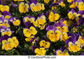 Colorful viola tricolor flowers in garden