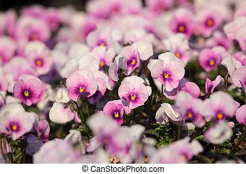 Colorful viola tricolor flowers