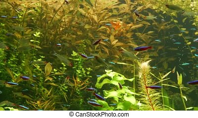 Colorful vivid fluorescent small fishes glow in river fresh water aquarium between green algae and aquatic plants. Luminous shiny ecosystem, vibrant decorative tank with bioluminescent tiny fish