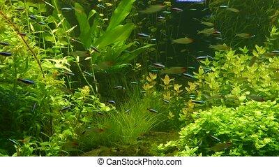 Colorful vivid fluorescent small fishes glow in river fresh water aquarium between green algae and aquatic plants. Luminous shiny ecosystem, vibrant decorative tank with bioluminescent tiny fish