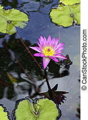 Colorful Water lilly - a colorful water lilly on a small ...