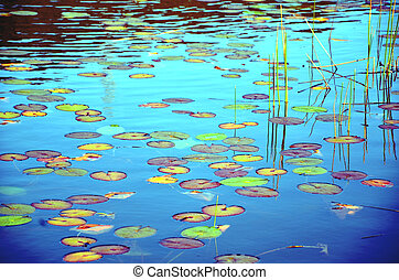 Colorful waterlily pond