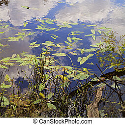 Colorful waterplant leaves and reflections on Blackwater...