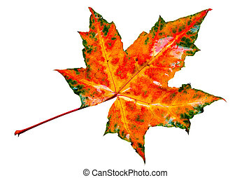 Colorful wet maple leaf.