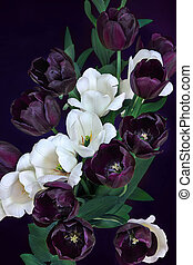 colorful white and purple tulips on a black background