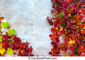 Colorful wild vines on the wall in autumn