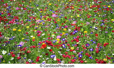colorful wildflowers on a meadow in July, Germany. Blueweed, Blue thistle, poppy and a lots of more