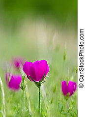Colorful winecup wildflowers (Callirhoe involucrata)...