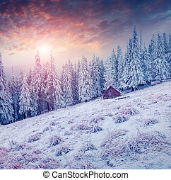 Colorful winter scene in the Carpathian mountains. Fir trees...