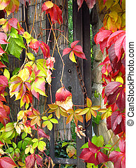 colorful woodbine - a lot of leaves of woodbine in red,...