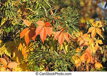 colorful woodbine - colorful leaves of woodbine growing on...