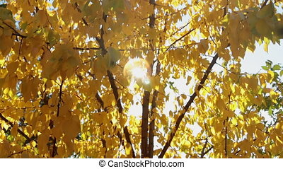 Colorful yellow autumn leaves at daylight sky with sun flare...