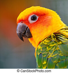 Sun Conure - Colorful yellow parrot, Sun Conure (Aratinga ...