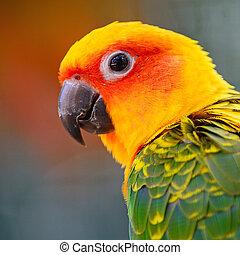 Colorful yellow parrot, Sun Conure (Aratinga solstitialis), head profile