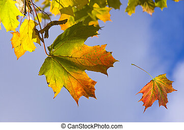 Colorful yellow, red orange autumn maple leaves on a branch against a blue sky background and falling leaves
