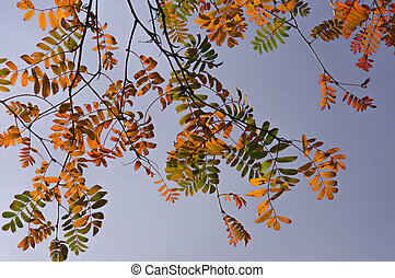 Colorful yellow, red orange, green autumn rowan leaves on a branch against a blue sky background
