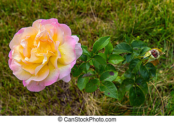 Colorful yellow-white rose in a garden.