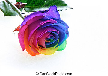 colorfull rose - colorful rose with a white wall as...